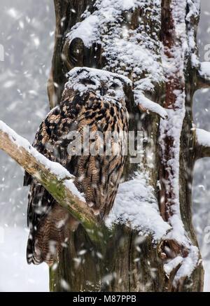 Eurasische Adler-Eule / Europäische Uhu (Bubo Bubo) mit Gesicht im Schnee bedeckt thront im Baum während der Schneedusche - Stockfoto