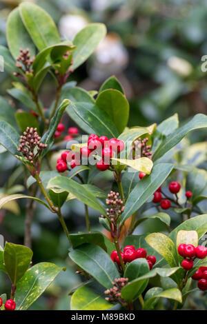 Skimmia japonica strauch mit roten beeren herbstfarben - Gartenarbeit im marz ...