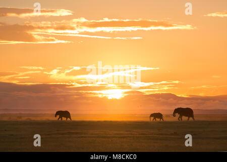 Wandern afrikanische Elefanten silhouetted gegen die untergehende Sonne im Amboseli Nationalpark in Kenia - Stockfoto