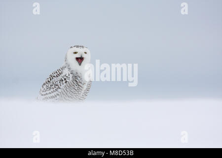 In sneeuw Sneeuwuil roepend; Schnee-eule Aufruf im Schnee - Stockfoto