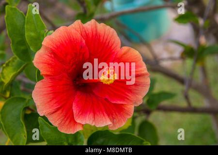 malaysia nationale blume rot hibiskus bl ten mit bl ttern farbigen illustration vektor abbildung. Black Bedroom Furniture Sets. Home Design Ideas