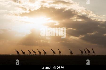Giraffen im Sonnenuntergang im Amboseli Nationalpark, Amboseli, Rift Valley Kenia - Stockfoto