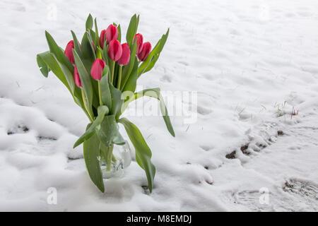 Warten auf Frühling. Tulpen in den Schnee. Hintergrund Textur. - Stockfoto