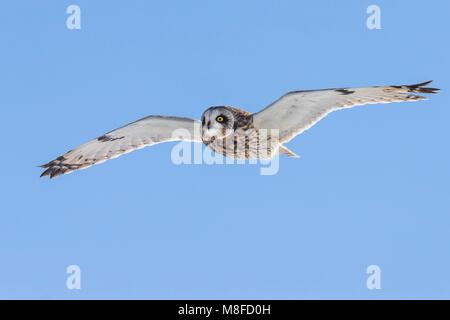 In Velduil vlucht; Sumpfohreule im Flug - Stockfoto
