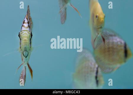 (Symphysodon discus) Fische im Süßwasser-Aquarium