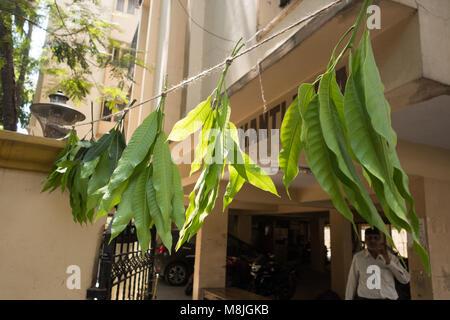 Indien Ca März 2018 Laut Hinduistischen Custom Mango Blätter Am