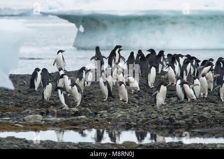 Gruppen von Adelie Pinguine Spaziergang entlang der Küste bei Brown Bluff, Antarktis. - Stockfoto