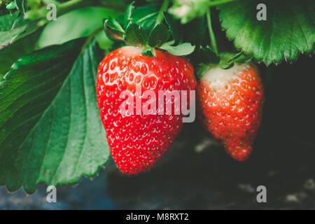 Reife Erdbeeren herunterhängen Closeup auf unscharfen Hintergrund - Stockfoto