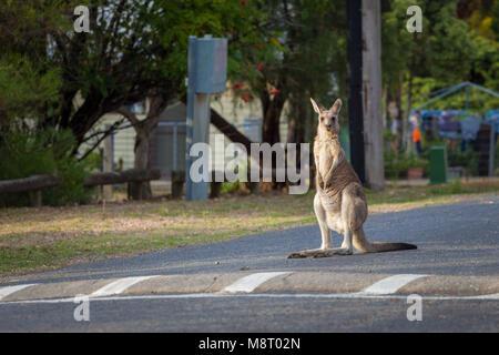 Eastern Grey kangaroo Steigende hoch stehend auf der Straße - Stockfoto