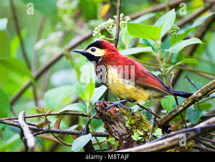 In natte Dschungel Roodmantelspecht; Crimson-mantled Specht in feuchten Dschungel - Stockfoto