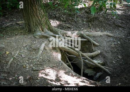 Wildes Tier baum Wurzeln graben - Stockfoto