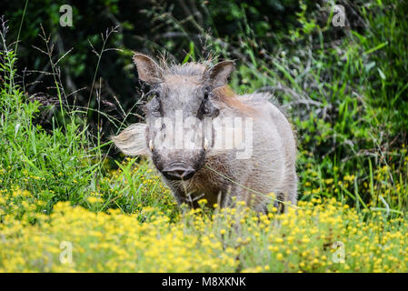 Eine gemeinsame Warzenschwein (Phacochoerus africanus) in Addo Elephant Park, Südafrika - Stockfoto