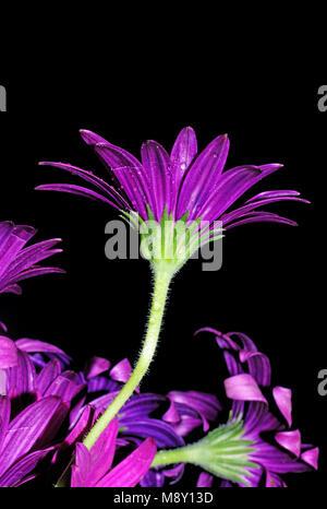"""""""Sunny Mary'Osteospermum close-up - Stockfoto"""