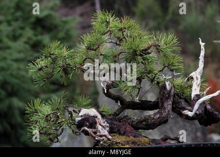 Bonsai Baum Deadwood bonsai Techniken Stockfoto