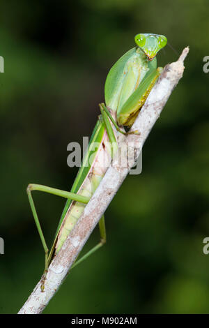 Riesige Rainfrest Mantis, Hierodula majuscula, Maliau Becken, Sabah, Malaysia, Borneo, - Stockfoto
