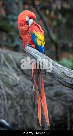 Die rot-grünen Ara (Ara chloropterus), auch als Green-winged Macaw genannt, ist eine große, meist - roter Ara der - Stockfoto