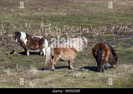 Drei sehr hübsche Miniatur Pferde stehen in einem Feld in der Nähe von Harrison, Idaho. - Stockfoto
