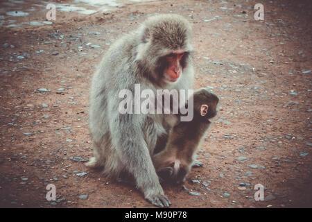 Japanischen Makaken und Baby in Iwatayama Monkey Park, Kyoto, Japan