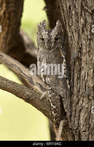 Afrikaanse Dwergooruil zit gecamoufleerd in een Boom, afrikanische Scops-Owl sitzen im Baum getarnt, - Stockfoto