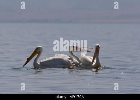 Witte Pelikanen zwemmend in de Salton Sea Californie USA, Amerikanische Weiße Pelikane schwimmen in Salton Sea Kalifornien USA - Stockfoto