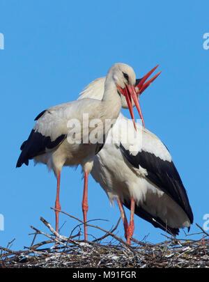 Weißstorch-Paar bei der Pari nest Estland Kattohaikara pesalla Eesti Viro Ciconia ciconia - Stockfoto