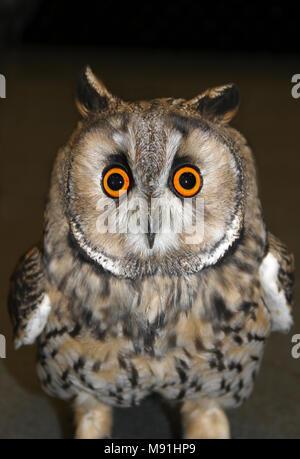 Lange eared owl Asio otus Gesicht Schoß - Stockfoto
