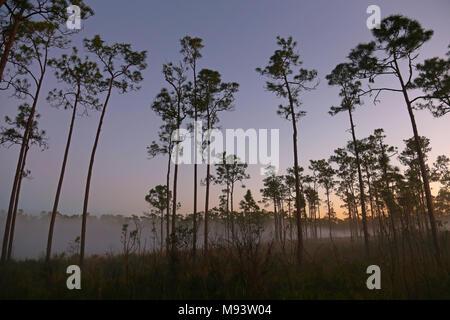 Die Kiefer im Nebel von Lone Pine Key Campingplatz in den Everglades National Park, Florida. - Stockfoto