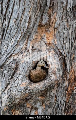 Nesting Stockente Huhn Ente (Anas platyrhynchos) Hohlraum von Silber Ahorn (Acer saccharinum), MN, USA, April, Dominique Braud/Dembinsky Foto Assoc - Stockfoto