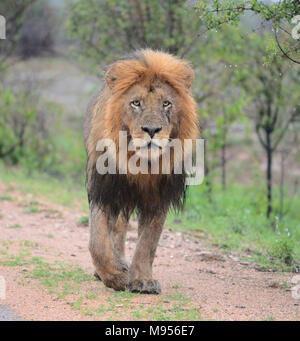 Südafrika ist ein beliebtes Reiseziel für seine Mischung aus echten afrikanischen und europäischen Erfahrungen. Kruger Park nass männliche Löwe close-up. Stockfoto