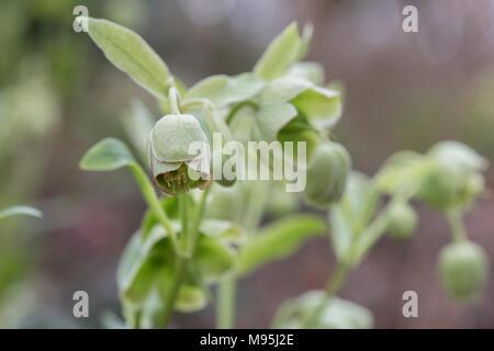 Helleborus purpurascens Wester Flisk Gruppe. Stinkende nieswurz Wester Flisk Gruppe - Stockfoto