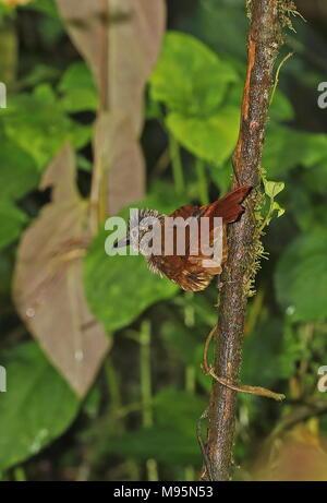 Streifen, schneebedeckten Treehunter (Thripadectes virgaticeps) erwachsenen Festhalten an dünnen Baum Vinicio Birdwatcher's House, Nono-Mindo Straße, Ecuador Febr. - Stockfoto