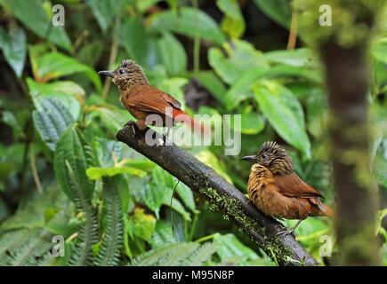 Streifen - Treehunter (Thripadectes virgaticeps) Paar auf Zweig Vinicio Birdwatcher's House, Nono-Mindo Straße, Ecuador Februar thront begrenzt - Stockfoto
