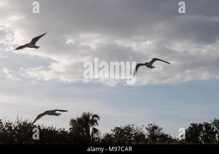 Drei Möwen fliegen in der Nähe der Küste von Vero Beach, Florida. - Stockfoto