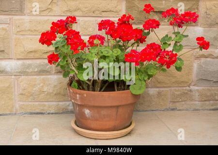 Hellen roten Geranien Pelargonien in Terrakotta Topf - Stockfoto