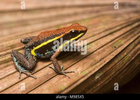 Cainarachi Pfeilgiftfrosch (ameerega Cainarachi) ein Frosch nur in Peru gefunden, wird derzeit von der IUCN als gefährdet. - Stockfoto