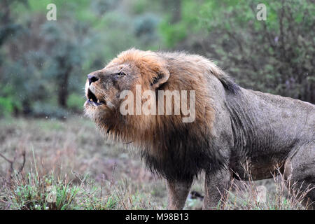 Wütend nass männliche Löwe brüllend im Regen.
