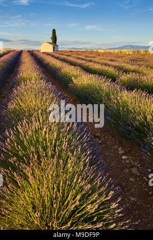 Lavendelfelder von Valensole mit cyperss Baum und Haus im Sommer bei Sonnenuntergang. Alpes de Haute Provence, Region PACA, Frankreich - Stockfoto