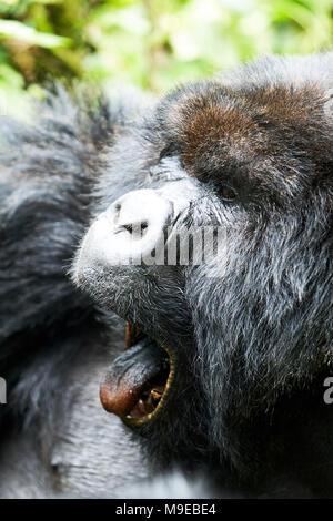 Starrte schwarze Gorilla in Virunga finden, Ruanda - Stockfoto