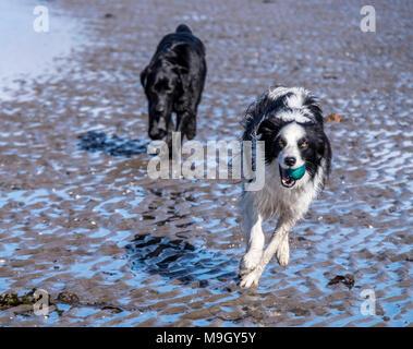 Nasse Hunde am Strand - Stockfoto