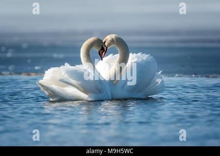 Romantisches Paar der Schwäne auf dem See. Swan Reflexion im Wasser - Stockfoto