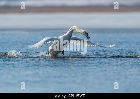 Swan Flucht auf Frühling Blue Lake - Stockfoto