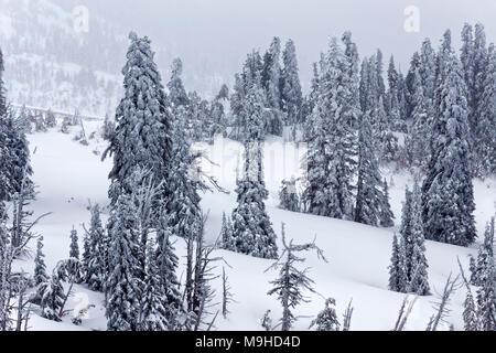 43,160.09812 Winterlandschaft Nadelbaum Pinien Wald close-up Snowy rolling Mt Hügel, in einem Schneesturm, schneit - Stockfoto
