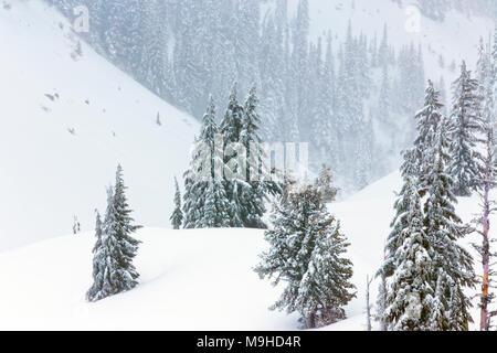43,160.09819 Winterlandschaft Nadelbaum Pinien Wald close-up Snowy rolling Mt Hügel, in einem Schneesturm, schneit - Stockfoto