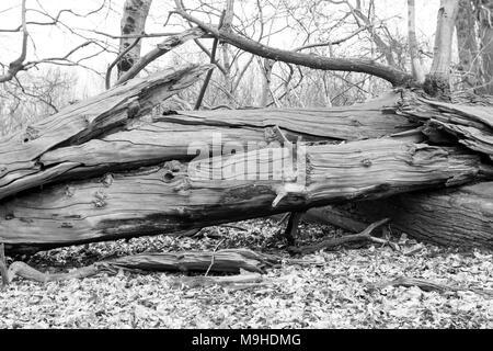 Gefallenen Edelkastanie gebrochen hat an zwei Orten, wie es auf den Boden und wurde über einen anderen gefallenen Baum krachte mit Blättern um - Schwarz und Weiß - Stockfoto
