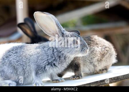 Osterhase Konzept. Grau Kaninchen Fluffy pet. Soft Focus flache Tiefenschärfe kopieren. - Stockfoto