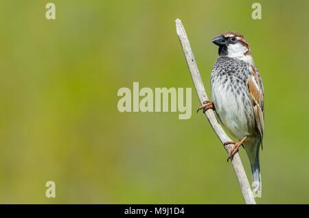 Spanische sperling passer hispaniolensis sitzt auf - Baum auf spanisch ...