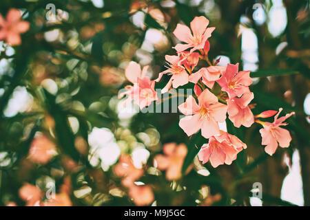 Schöne rote und rosa Nerium oleander tropischen Baum Blumen mit schönen Bokeh Hintergrund Tönen im Vintage Style - Stockfoto