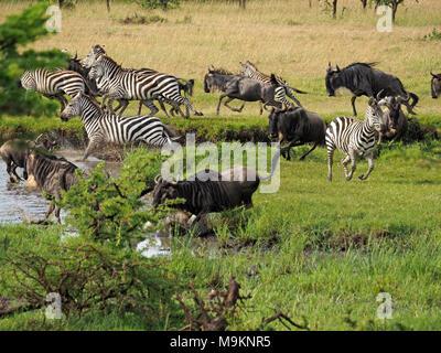 Gemischte Herde von Gnus (connochaetes Taurinus) und Zebras (Equus quagga Ebenen) Panik am Wasserloch beim Lions Abdeckung in der Masai Mara, Kenia brechen - Stockfoto
