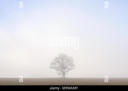Eine einsame Eiche steht in der Mitte eines Feldes gegen die Morgennebel isoliert. - Stockfoto