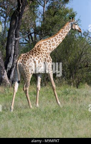 Giraffe (Giraffa Camelopardalis). Nach Weg zur Stimulation gait ie einen vorderen und hinteren Bein auf einer Seite des Körpers im Wechsel mit den anderen, forwar - Stockfoto